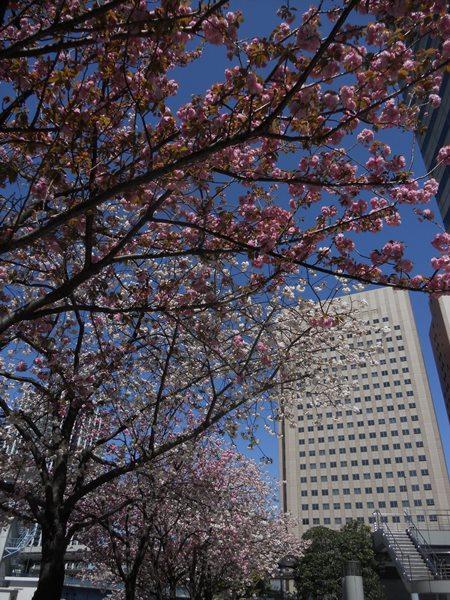 Shinagawa Plum Blossoms
