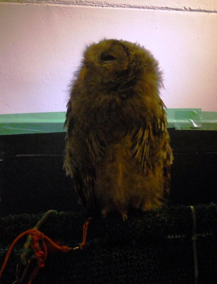 Owl Cafe Baby Owl