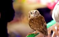 Owl Looking at Camera at Owl Cafe