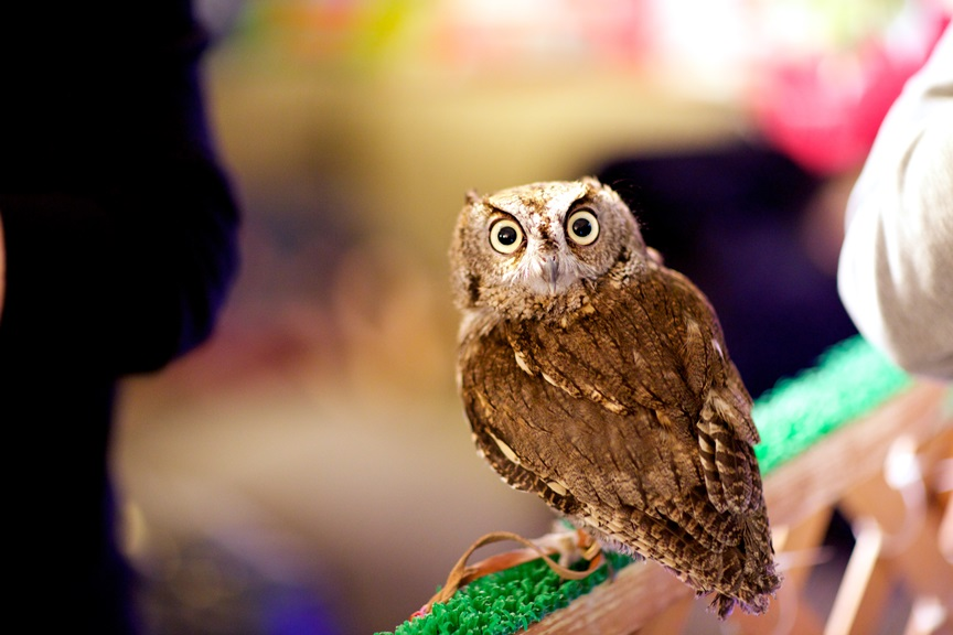 Owl Looking at Camera at Owl Cafe