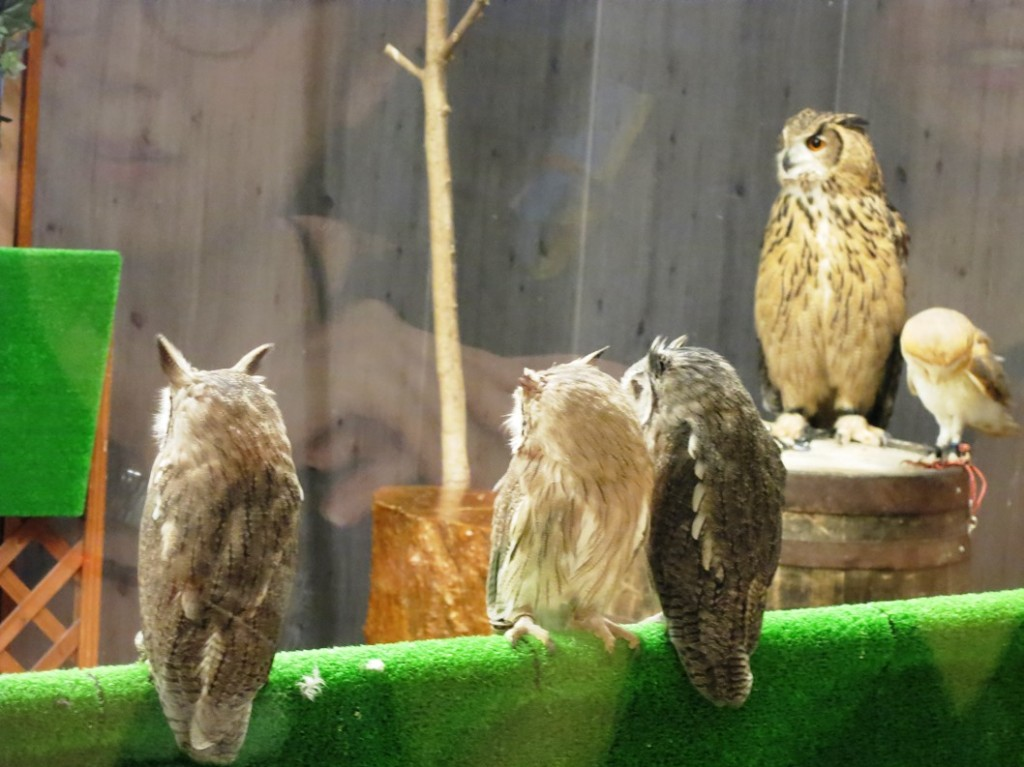 Several owls sitting on perches in owl and hawk cafe The Hawkeye