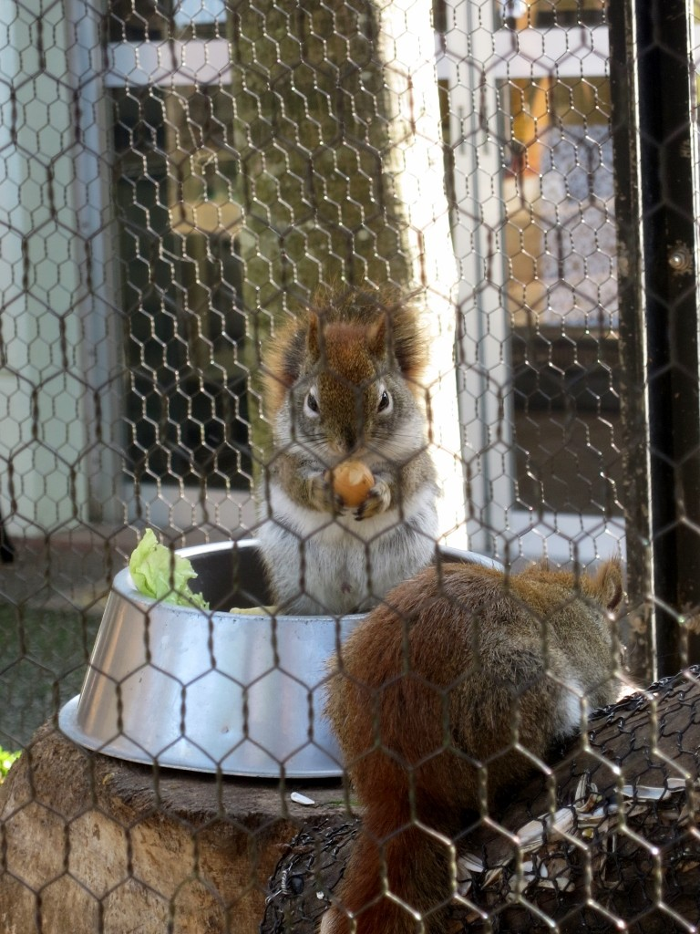 American Red Squirrel in Machida Squirrel Garden