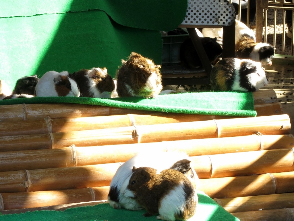 A few guinea pigs sitting on a mat at Machida Squirrel Garden