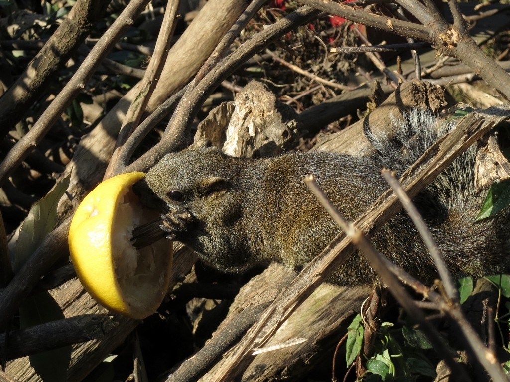 Squirrel eating grapefruit